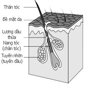 Cấu tạo sinh học của sợi tóc