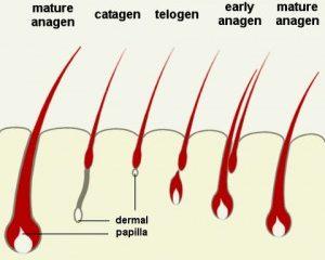 Sinh lý tóc
